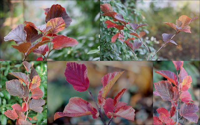 hamamelis yamina couleur automne 2016