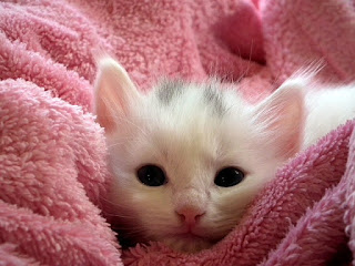 A white cat snuggled in a pink blanket.