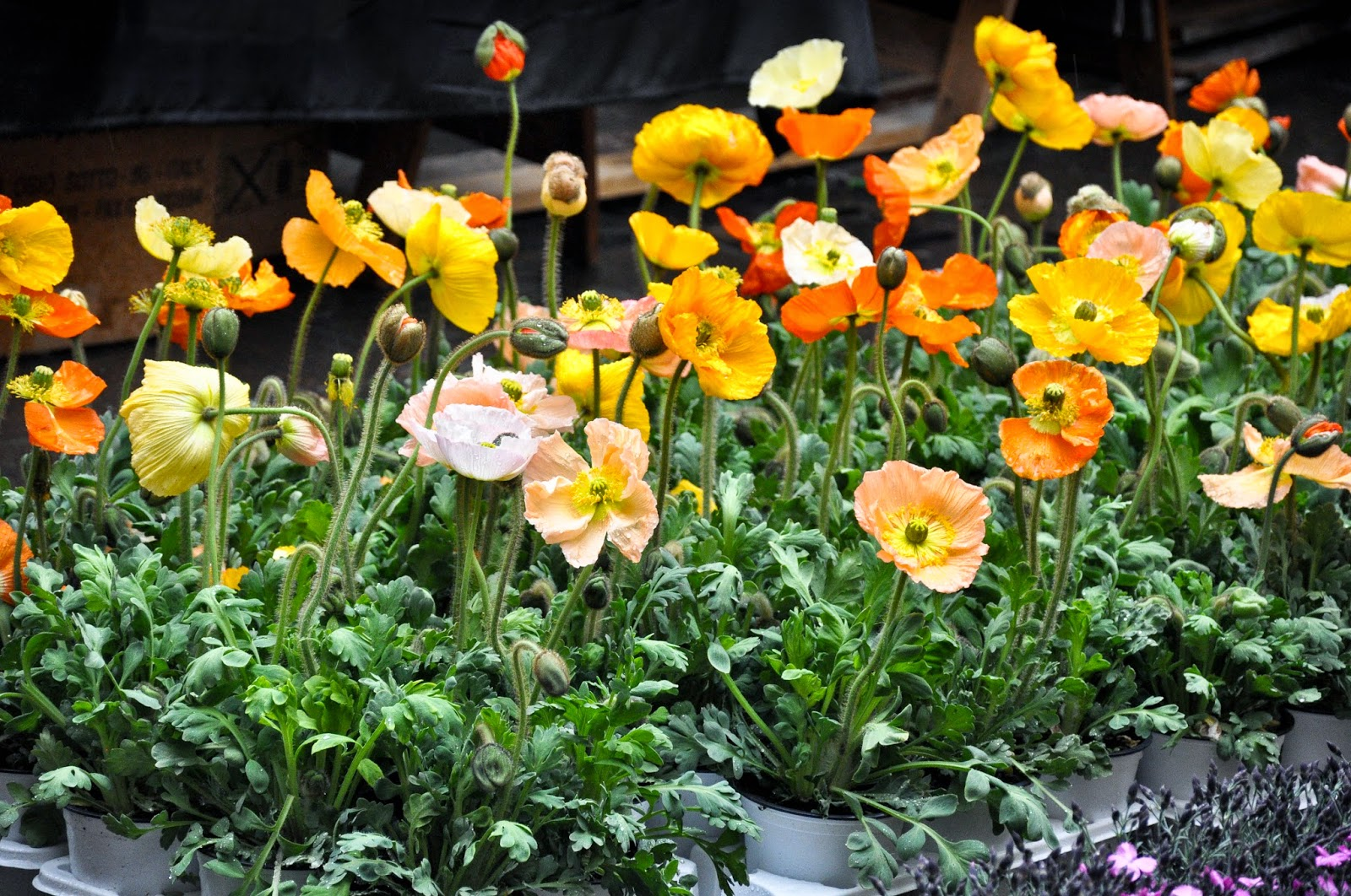 Orange poppies, 7th Edition of 'Fiori, colori, e...' - Floriculture market show, Vicenza, Italy