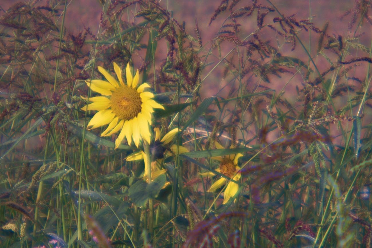 Brillenglasobjektiv #2 — Bild des Tages #131 — Sonnenblume begrüßt den Tag