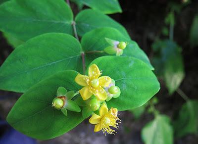Hierba de San Juan (Hypericum humifisum)