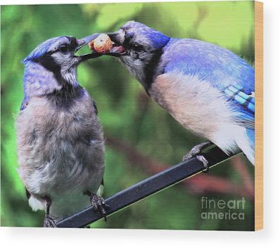 This is a screen shot of one of my images of Blue Jays which has been rendered on to wood and is available in different sizes via Fine Art America. https://fineartamerica.com/featured/blue-jays-wooing-2-patricia-youngquist.html?product=wood-print