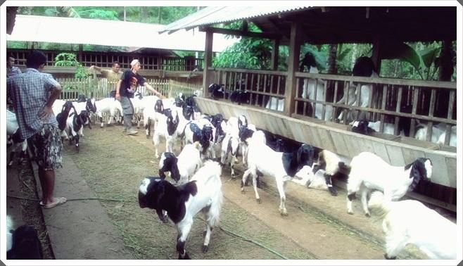 image gambar peternakan kambing etawa