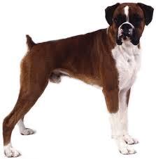 Anjing Ras Boxer