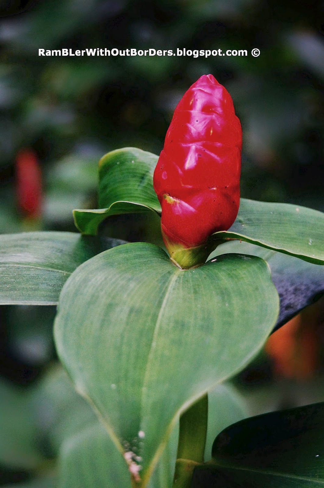 Ginger flower bud, Alpinia purpurata, red ginger