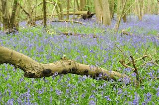 Waresley Wood bluebells