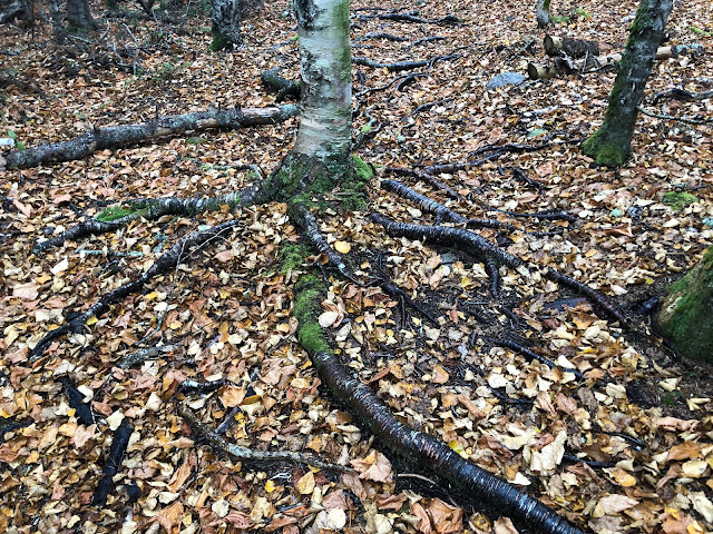 tree roots on trail