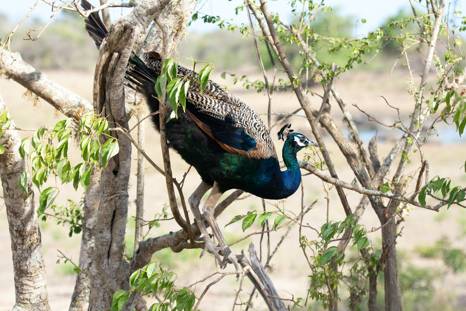 blue-and-green-peacock-on-tree-branch-images
