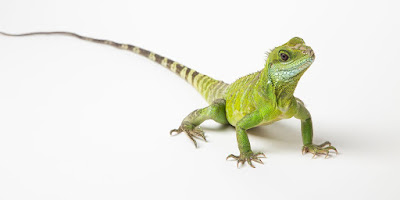 Asian water dragon (Physignathus cocincinus)