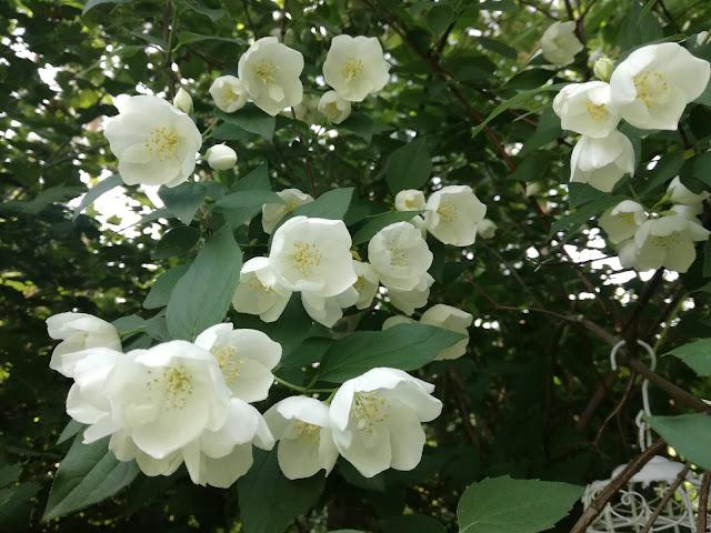 kwiaty jaśminowca