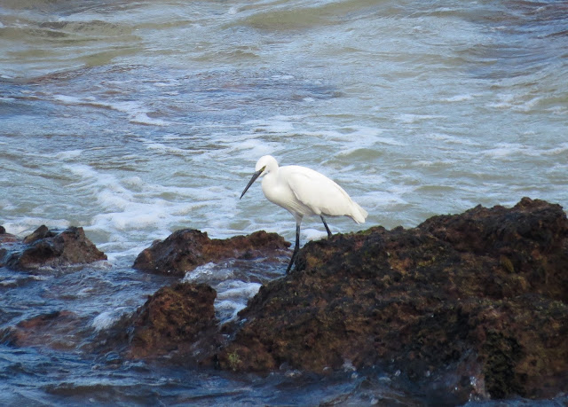 Little Egret - El Cotillo Lighthouse, Fuerteventura