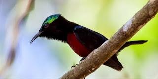Cara Merawat Burung Konin Kolibri Ninja Agar Cepat Gacor