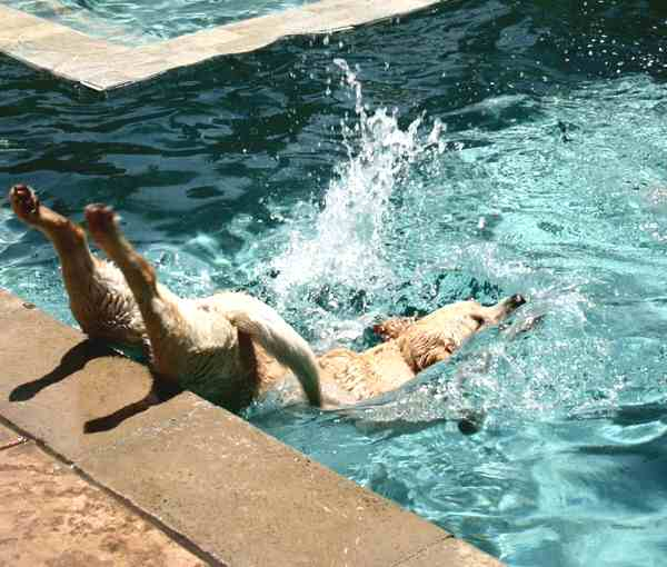canine does a belly flop