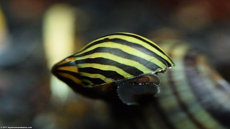 Gambar Teman Untuk Satu Akuarium Dengan Udang Red Cherry Shrimp- Nerite Snails