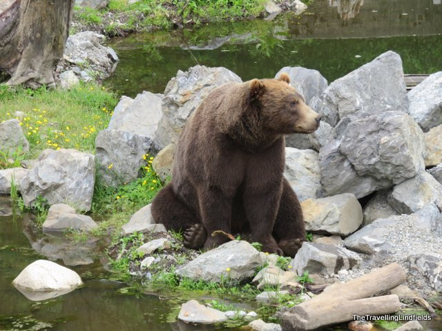Brown bear at The Fortress of the Bear