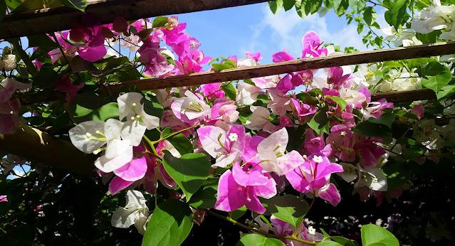 Beautiful Bougainvillea flowers at Minas Buko Halo-Halo