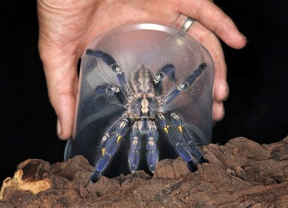 Exotic Pets - Gooty Tree Spider | Fun Animals Wiki, Videos