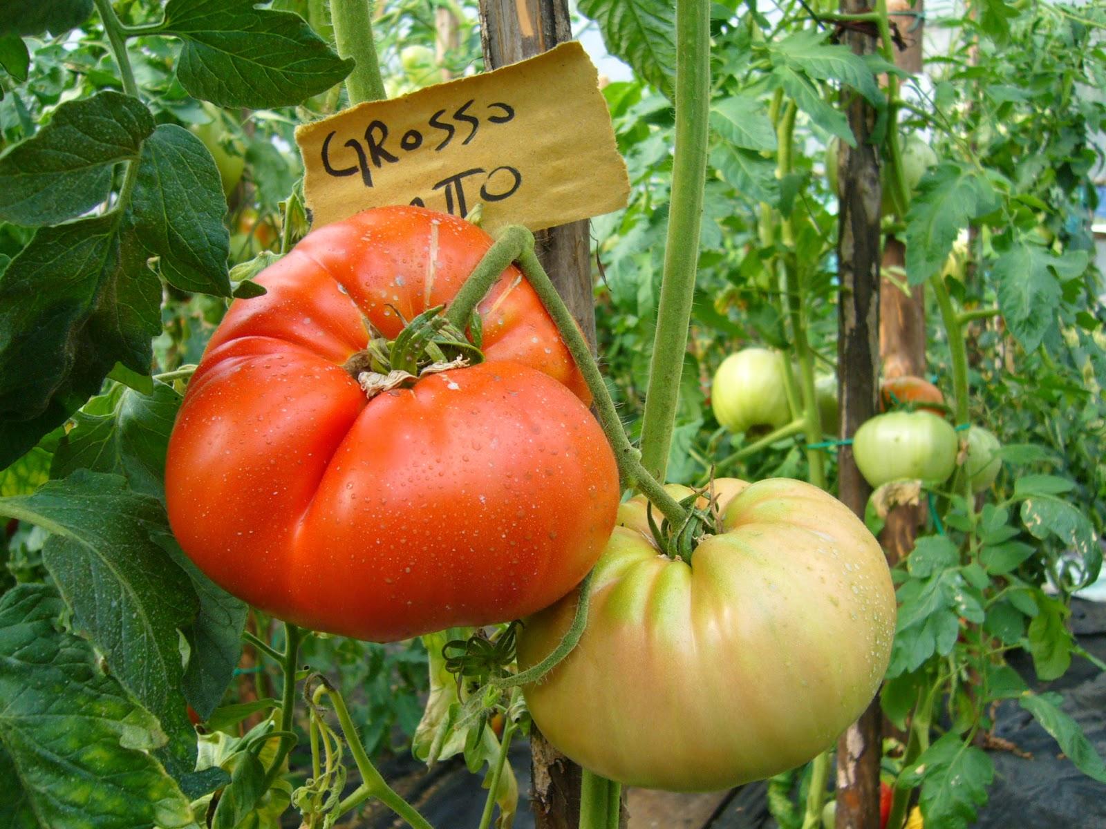 pomodoro varietà principe borghese