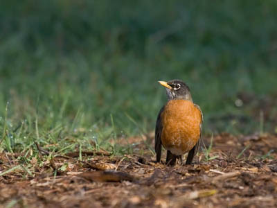 Photo of American Robin on the ground