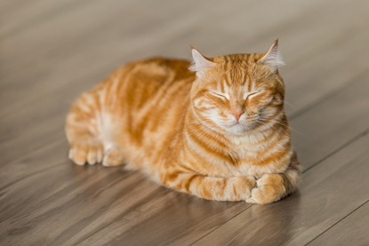 ginger cat asleep on a wooden floor