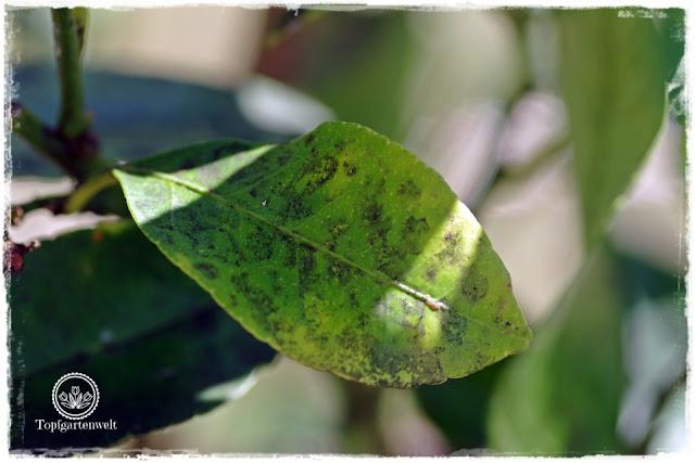 Rußtau auf Honigtau - Bist du noch zu retten? 100 Gartenproblemen auf die Schliche kommen - Gartenblog Topfgartenwelt