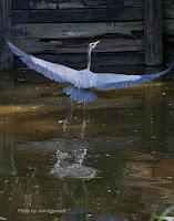 Great blue heron taking flight  – Rockport Country Club, TX – Feb. 11, 2017, by Jodi Arsenault