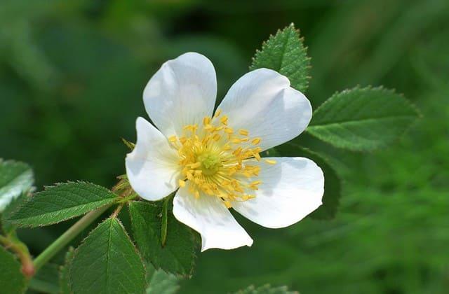 setangkai mawar wild rose memukau