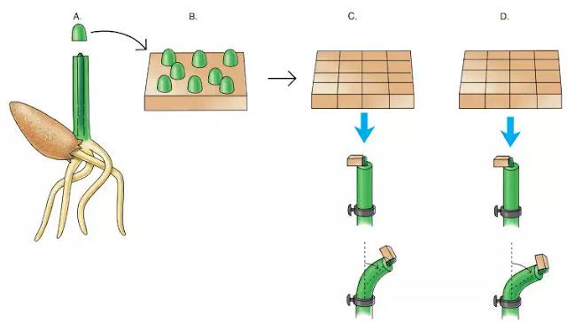 Gambar 2 Bagaimana bioassay auksin dibuat. A. Sejumlah tip coleoptile tertentu dipotong dan ditempatkan pada bagian agar-agar (B) yang diukur untuk periode waktu tertentu. C. Ujung coleoptile kemudian dihilangkan, dan agar-agar dipotong menjadi blok dengan ukuran tertentu. Blok agar ditempatkan di tengah-tengah pada coleoptile yang dipenggal dipegang oleh penjepit; daun di dalam coleoptile ditarik sedikit untuk mendukung blok agar-agar. Setelah periode tertentu, sudut kelengkungan diukur. D. Sudut kelengkungan dibandingkan dengan yang dihasilkan ketika blok agar serupa yang mengandung jumlah auksin dimana diketahui ditempatkan di tengah-tengah coleoptile lain untuk periode waktu yang sama.