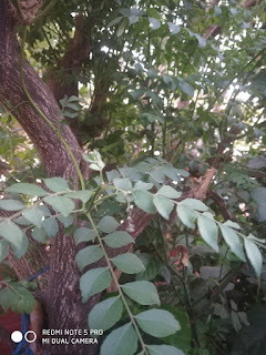 the best curry leaves tree