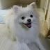 About Pomeranian :: Small Dog Breeds