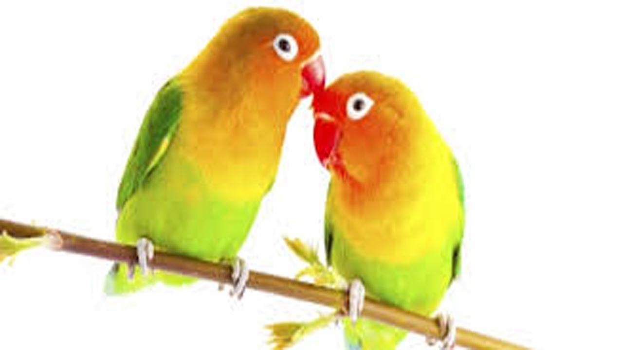 Cara Membedakan Lovebird Jantan Dan Betina Secara Akurat