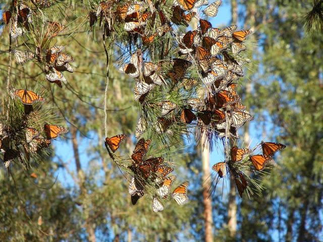 Riserva della Biosfera delle Farfalle Monarca