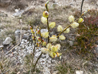 [Salicaceae] Salix sp. – Willow.