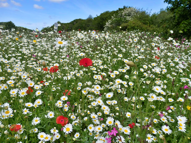 Fields of wild flowers at Cornwall's Eden Project