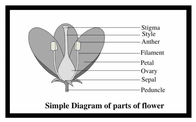 Simple Diagram of parts of flower