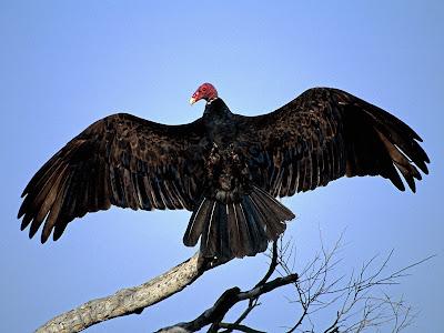 http://1.bp.blogspot.com/-M9qmbjUUFGU/TdXK8vA2bcI/AAAAAAAAAMM/dvV4IbGuIDg/s1600/turkey_vulture+on+tree.jpg