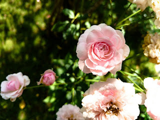 Rose Flower Photo Yutopia