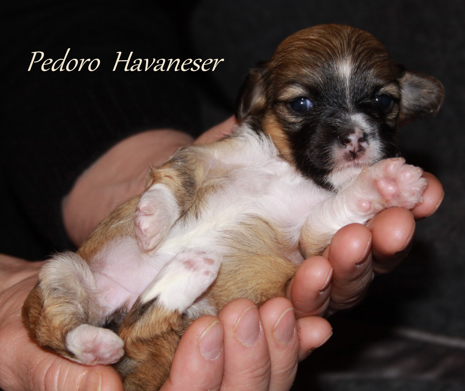 Havaneser Welpe Hündin Bichon Havaneser VDH, PEDORO HAVANESER Fotos und Bilder images