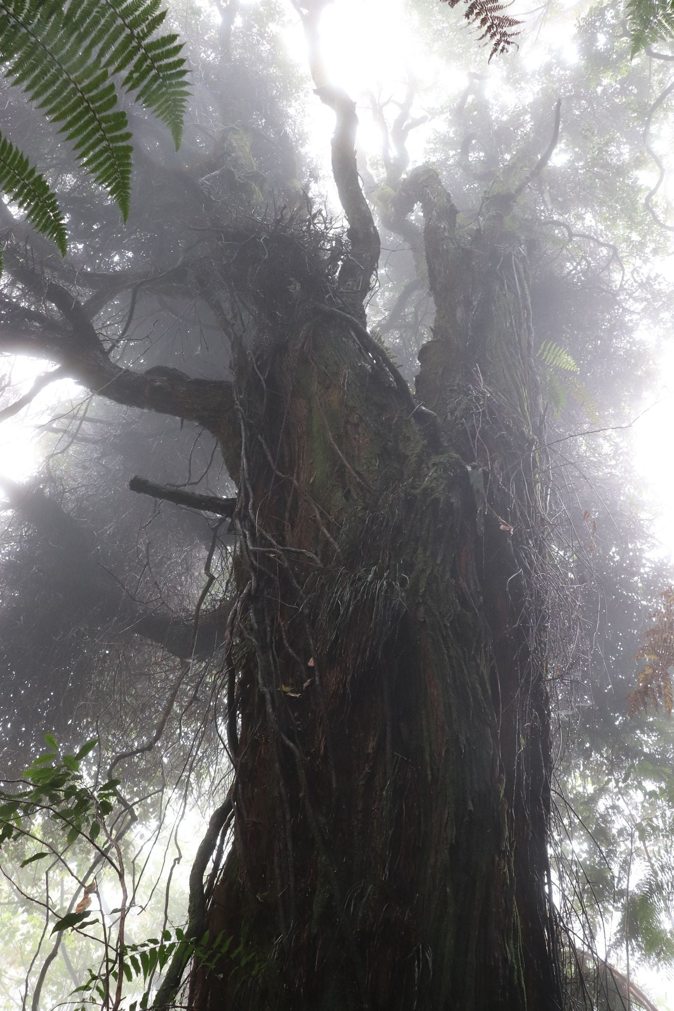 Giant trees along Mt. Apo trails - foggy forest and gigantic tropical tree
