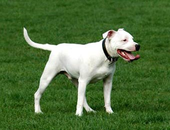 The dog in world: Bull Terrier dogs