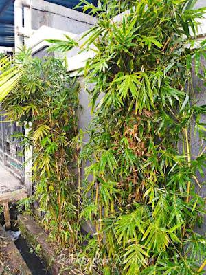 Manfaat Bambu kuning sebagai tanaman hias
