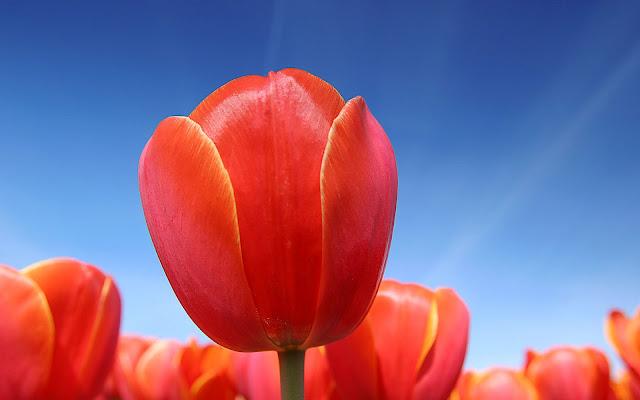 Foto van rode tulpen