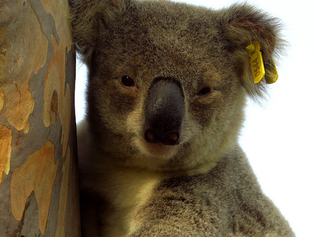 Jethro the Koala in a garden in Pittsworth, Queensland, Australia.