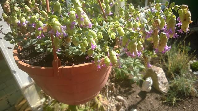 Oregano mit Hofenartiger Blüte.