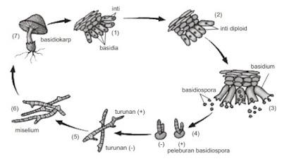 siklus hidup jamur payung