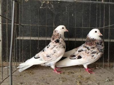almond pigeons