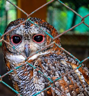 Photo of Mottled wood owl - Strix ocellata