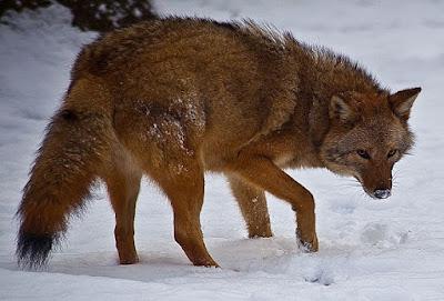 Coywolf_hybrids - هجيبن الذئب و القيوط