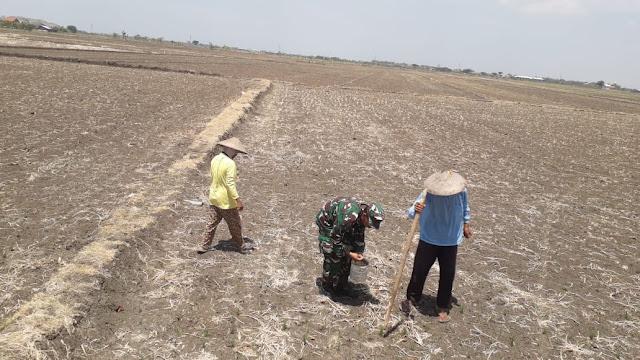 Berseragam Loreng Tak Menyurutkan Serma Paijan Untuk Membantu Petani Gejik Padi