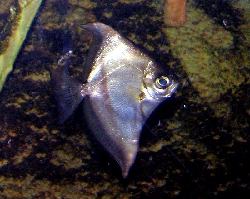 Gambar Ikan Hias Air Payau-African moony
